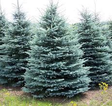 10 to kill evergreen trees