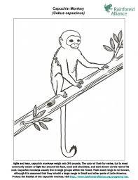 capuchin monkey coloring rainforest alliance