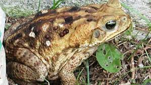 How To Get Rid Of Cane Toads In Backyard Toxic Toads Put Pet Owners On Alert In Temple Terrace Tbo Com