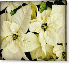 white poinsettia white poinsettia photograph by carol toepke