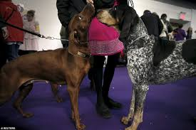 bluetick coonhound kennels in ga westminster kennel club show kicks off as 2 700 dogs get primped