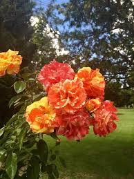 flowers in november picture of queens park toowoomba tripadvisor