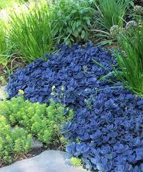 Rock Garden Plants Uk Rock Garden Plants Uk Blue Pearl Evergreen Rock Garden Plants Uk