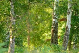 birch tree 25330 1920x1285 px hdwallsource com
