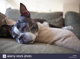 a boston terrier spends a lazy day resting on a living room sofa