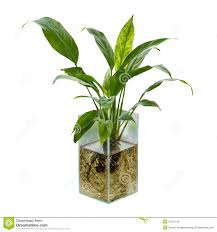 peace lily spathiphyllum or peace lily royalty free stock image image 31355146