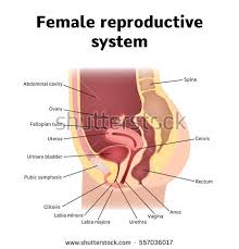 Anatomy Of The Female Reproductive System Pictures Uterus Stock Images Royalty Free Images U0026 Vectors Shutterstock
