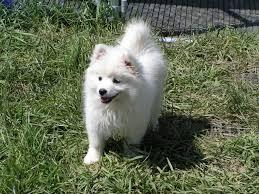 american eskimo dog small puppies page