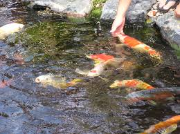 how soon can i put fish in my koi pond premier ponds dc md