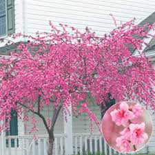 pink cascade weeping tree sun partial shade zone 5