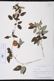 native plants of south carolina clitoria mariana species page isb atlas of florida plants