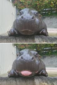 Baby Hippo Meme - 10 baby hippos that will make everything better baby hippo