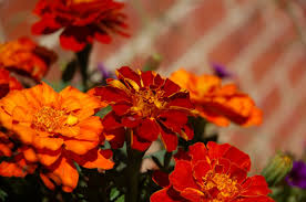 Zinnias Flowers Flower Delightful Zinnias Flowers Orange Zinnia Annuals Summer