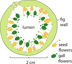 Fig Flower - schematic diagram of a cross section of a receptive syconium of