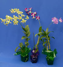 dendrobium orchid potted plants live dendrobium orchid tropical colors hawaiian