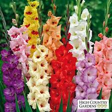 gladiolus flower gladiolus rainbow mix large flowering gladiolus high country