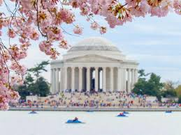 cherry blossom tree facts things to know about the national cherry blossom festival in dc