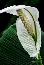 anthurium flower anthurium flower photograph by al andersen