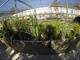 australian native aquatic plants aquatic plants u2014 largest pond and koi retail store on the west coast