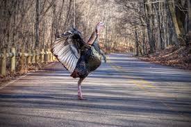 factory farmed turkeys 7 shocking facts your thanksgiving bird