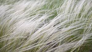 ornamental grass moving in the wind at garden stock footage