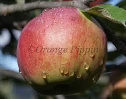 Online Fruit Trees For Sale - northern spy apple trees for sale buy online friendly advice