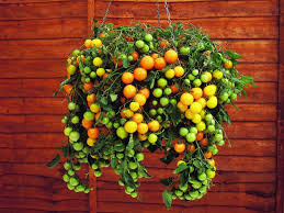 tomato varieties for your container garden growing tomatoes in