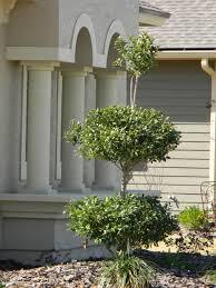 Eugenia Topiary The Green House Nursery