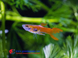 2884 best guppies images on guppy fish and fresh water