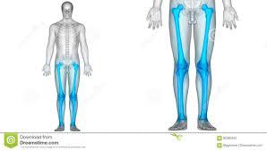 Anatomy Of Human Body Bones Human Body Bone Joint Pains Anatomy Femur With Patella Fibula And