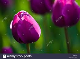 different color purples purple tulip tulips bulb bulbs petal different color colour public