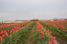 Skagit Valley Tulip Festival Bloom Map Skagit Valley Tulips U2013 See More W C Moore