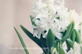 hyacinth flower hyacinth flower forcing woodstock hyacinth bulb indoors