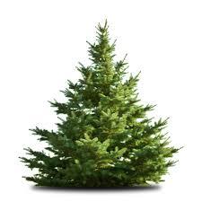 freshly cut christmas trees damhead nursery news