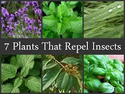 Mosquito Repellent For Home by 7 Plants That Repel Insects Jpg
