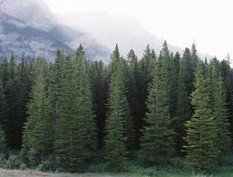 types of evergreen trees the tree center