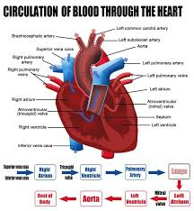 Anatomy Of Heart Valve Labelled Figure Of The Circulation Of Blood Through The Heart