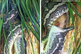 in photos carpet python devours possum while hanging upside down
