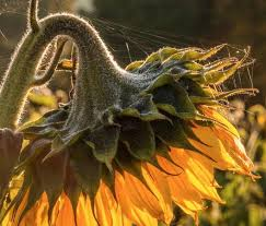 ag es chambre sunflower in sunlight picture of les ages chambres d hotes