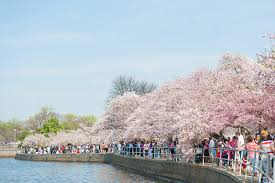 National Cherry Blossom Festival by Facts About Washington Dc U0027s Cherry Blossom Festival