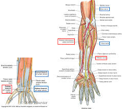 Bicep Innervation 2 06 Anterior U0026 Posterior Forearm Elbow Joint Anatomy