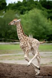 best 25 giraffe running ideas on pinterest giraffes giraffe