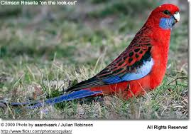 crimson rosellas also called the pennant s rosellas of birds