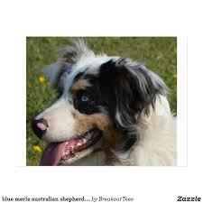 australian shepherd ebay aussie puppies red merle