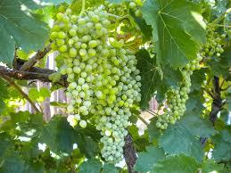bare root table grape vine thompson seedless groworganic