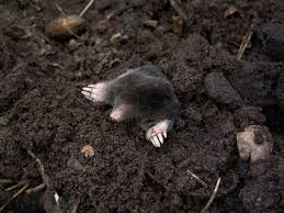 How To Hunt Squirrels In Your Backyard by Moles How To Identify And Get Rid Of Moles In The Garden Or Yard