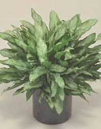 indoor plants india hardy indoor plants