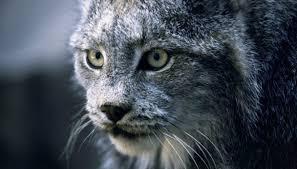 Alabama Wild Animals images Bobcats of alabama sciencing jpg