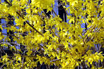 File:<b>Forsythia</b> close-up.jpg