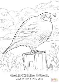 california state bird coloring page free printable coloring pages